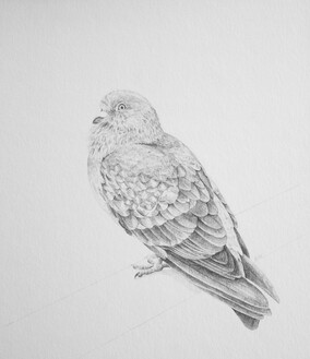 Pencil drawing of pigeon by Justine Giles
